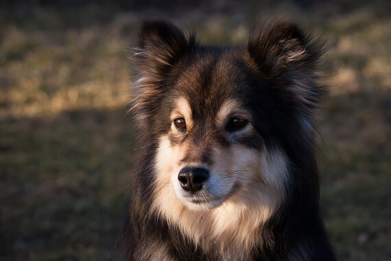 Finnish Lapphund with a black and tan face