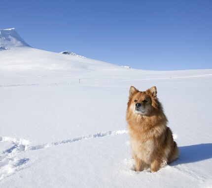 A brown Finnish Lapphund in the snow