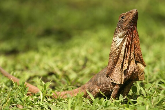 A frilled lizard without its frill extended