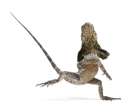 A frilled lizard standing up on two legs