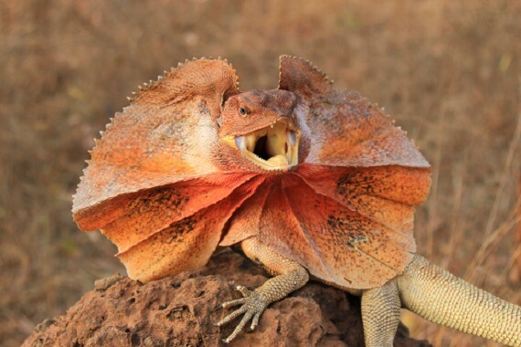 Frilled lizard with its red-colored frill erected
