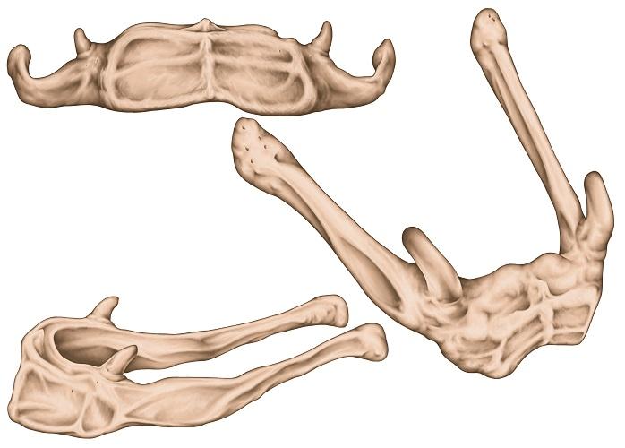 hyoid bone larynx