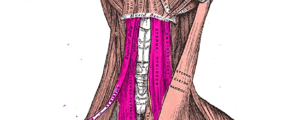 infrahyoid muscles hyoid bone larynx trachea thyroid cricoid cartilage