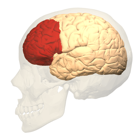 Lateral view of the prefrontal cortex in human brain, highlighted red