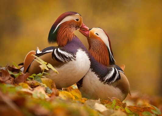 Two male mandarin ducks showing off their colorful plummage