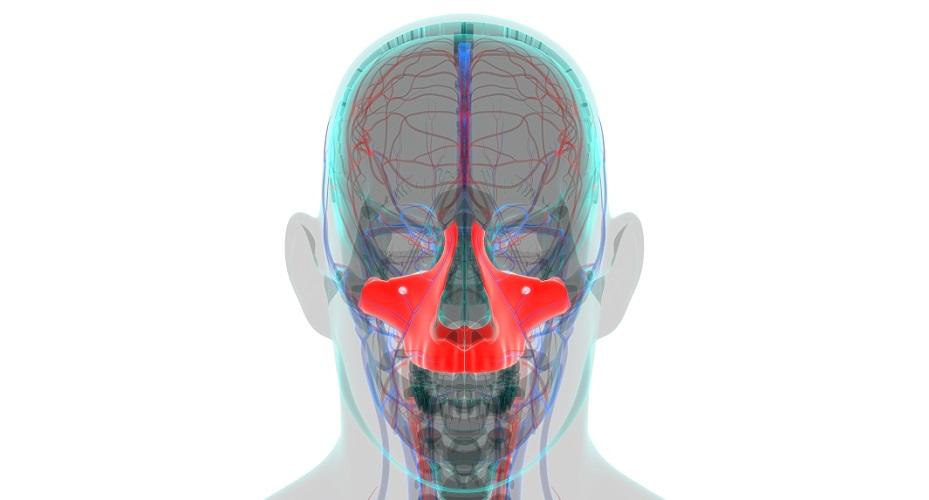 maxilla bone maxillary