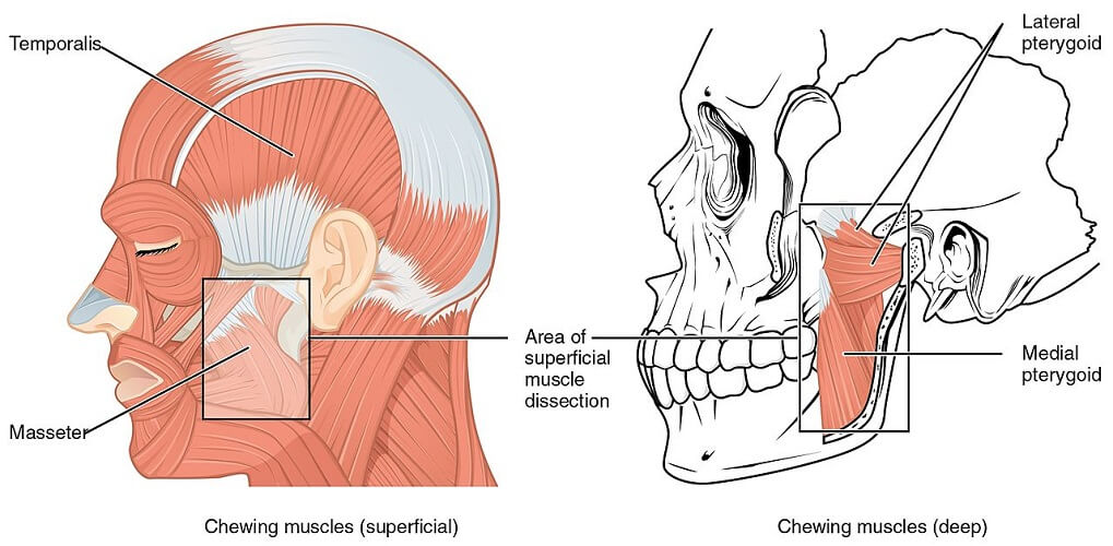 medial pterygoid muscle masticatory jaw process plate sphenoid bone