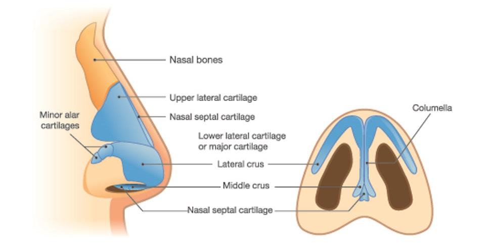 cartilage nasal septum nasal bone bones