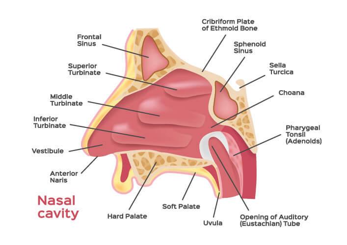 nasal cavity sphenoid bone sinus concha conchae