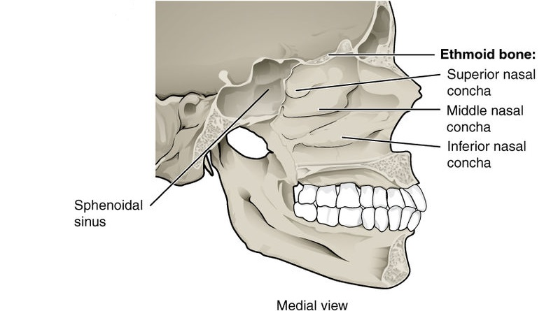 nasal cavity conchae concha superior middle inferior