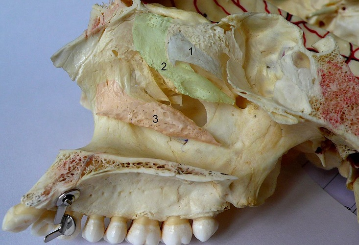 nasal conchae concha superior middle inferior facial