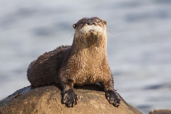 A north american river otter sitting on a rock