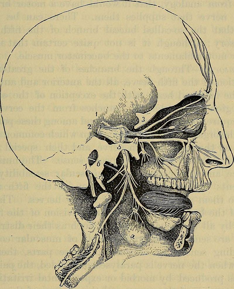 ophthalmic nerve facial nerves CN V trigeminus