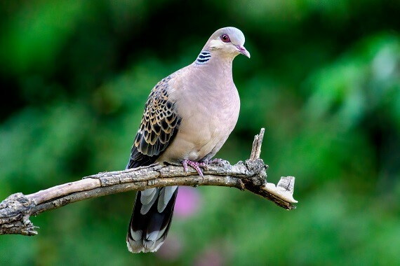 An Oriental turtle dove perching on a tree branch