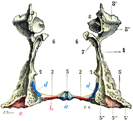 labeled palatine bone bones