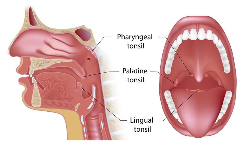 oral cavity pharyngeal palatine lingual tonsil tonsils