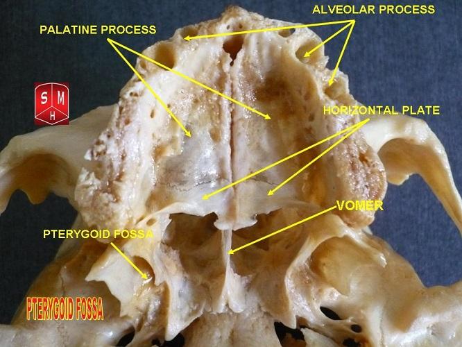 pterygoid fossa palatine bone bones