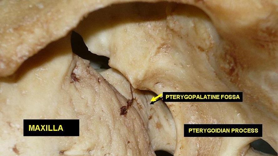pterygopalatine fossa palatine bone