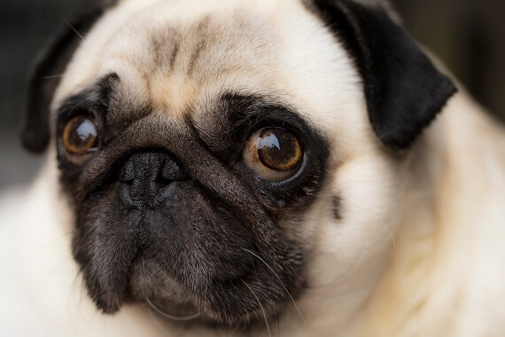 A close up of a pugs face