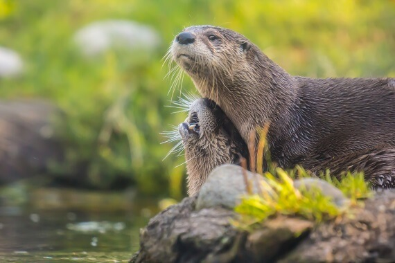 Two river otters on the side of a river