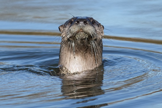A river otters head sticking out the water