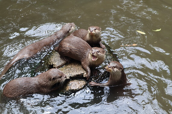A group of river otters playing in the water
