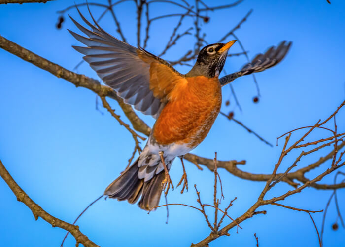Robin perched on a tree branch spreading its wings