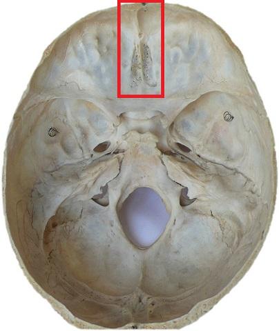 sagittal sulcus frontal bone crest groove sinus cranium