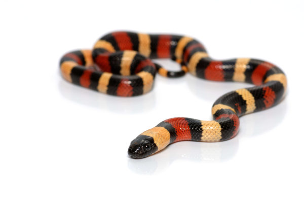 Scarlet king snake against white background