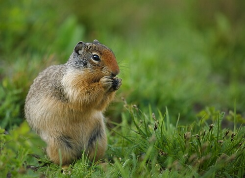A ground squirrel eating among green grass