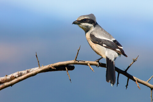 A shrike sits on a thorny branch with a blue backdrop