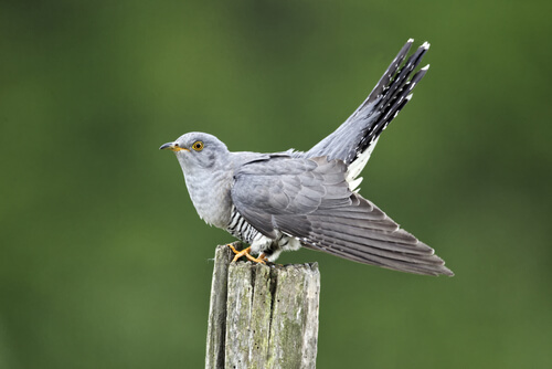 A cuckoo bird perched on a log with its tail in the air