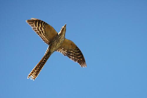 A cuckoo bird in flight viewed from below against sky backdrop