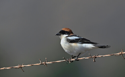 A woodchat shrike perched on a strand of barded wire