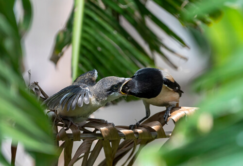 A long-tailed shrike adult feeding a young long-tailed shirk in a jungle setting