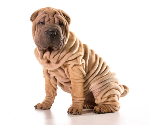 A Chinese shar pei against a white background