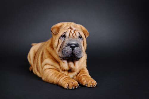 A Chinese shar pei puppy sitting in front of a black backdrop