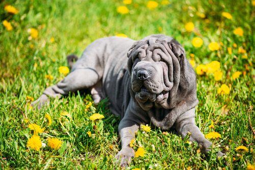 A blue Chinese Shar Pei lounging