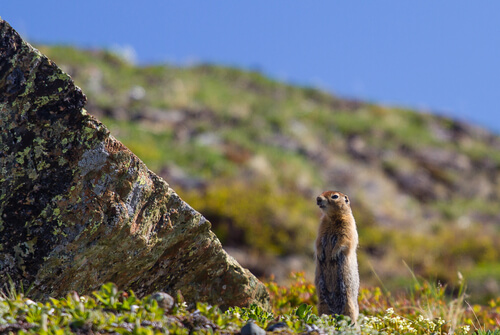A ground squirrel stands tall beside a mossy rock in an open arctic field