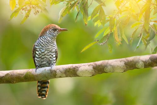 A female cuckoo bird on a branch