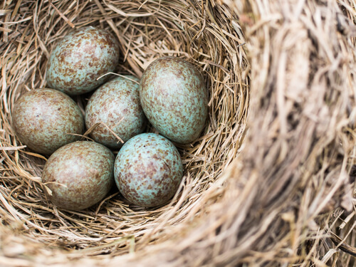 Blue and spotted brown Cuckoo eggs in a nest