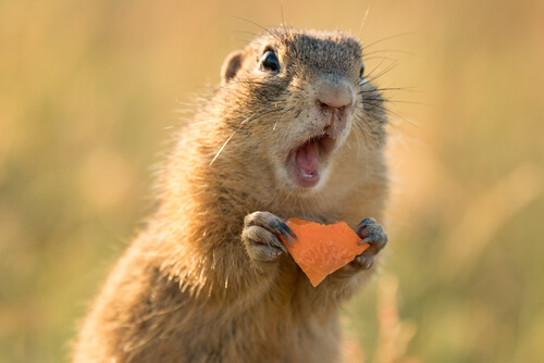 A ground squirrel eating a carrot with its mouth open