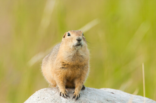 A ground squirrel perched on a rock against a green field background