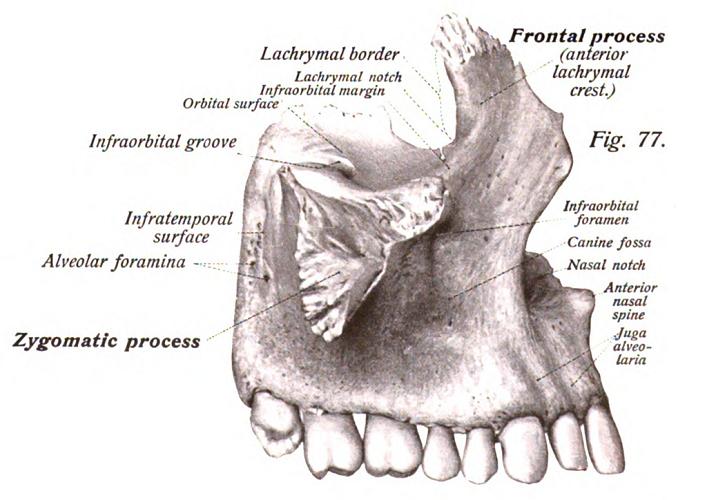 maxilla bone maxillary labeled diagram process frontal zygomatic alveolar