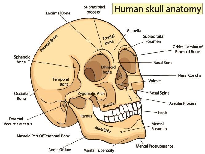 skull anatomy cranial bones facial bones cranial
