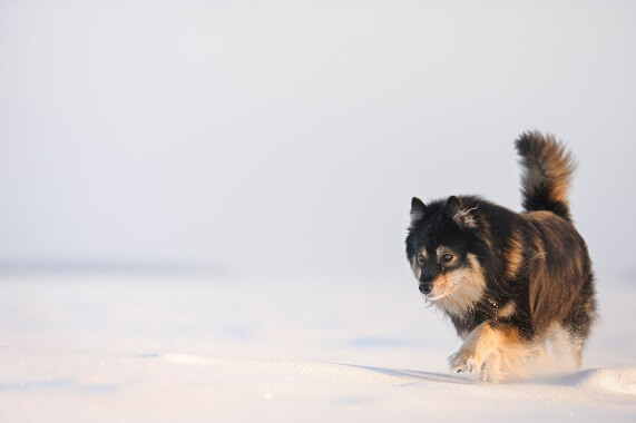 A black Finnish lapphund walking in the snow