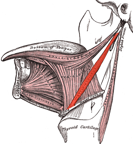 styloid process temporal bone ligament stylohyoid hyoid bone