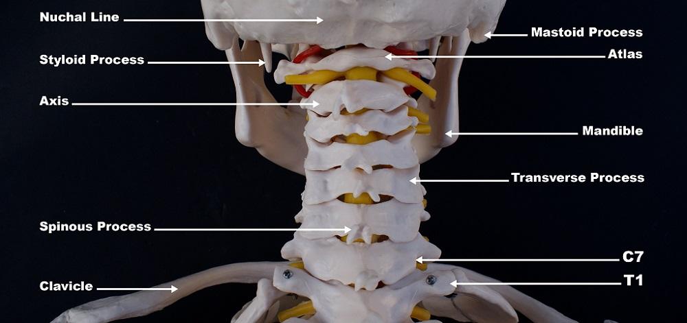 styloid process occipital cervical vertebrae mandible