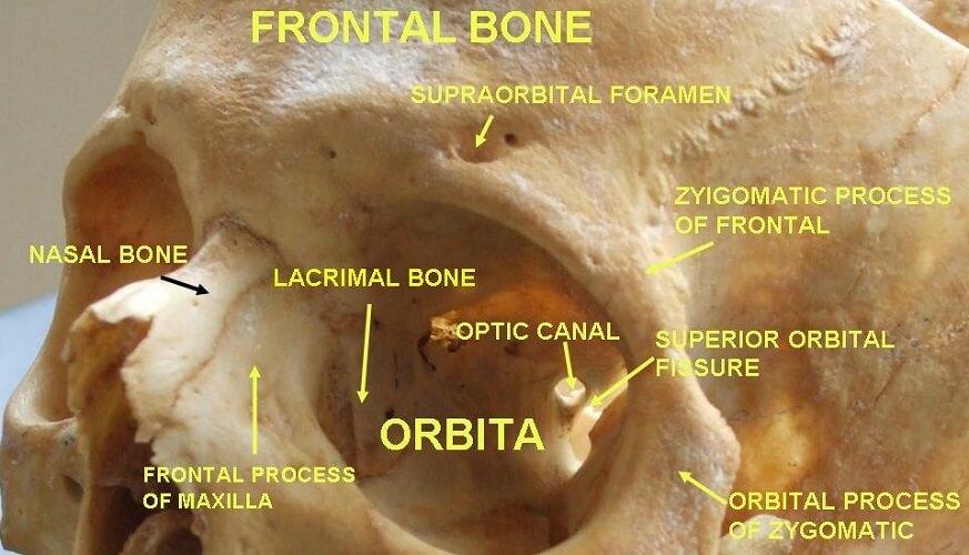 superior orbital fissure sphenoid bone optic canal frontal lacrimal zygomatic orbit maxilla