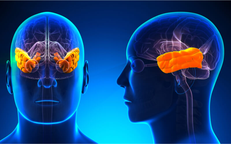 Temporal lobe highlighted orange to indicate possible location of semantic memory processing